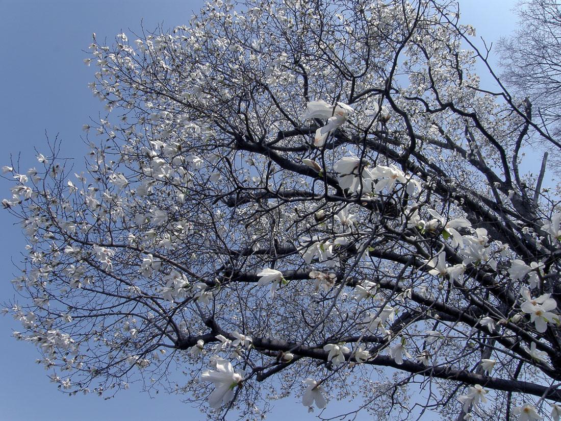 滝乃川学園のこぶしの木